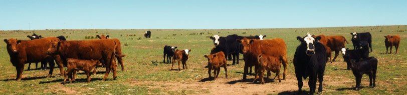 cattle-376-header